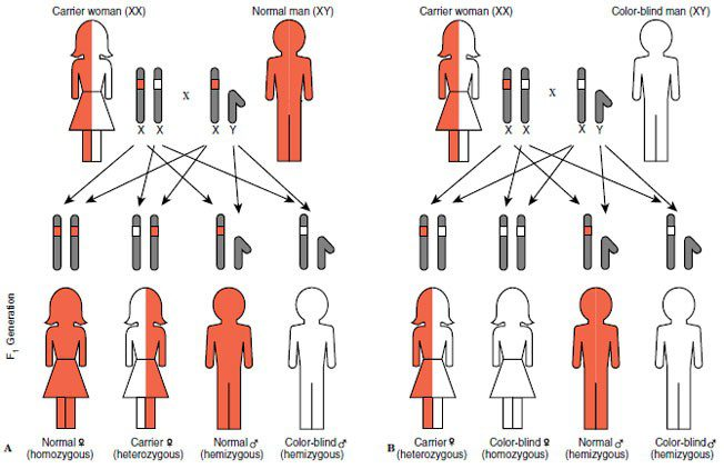 chart showing traits inheritted genetically